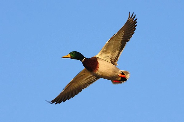 Duck Flying Bird Nature Outdoors