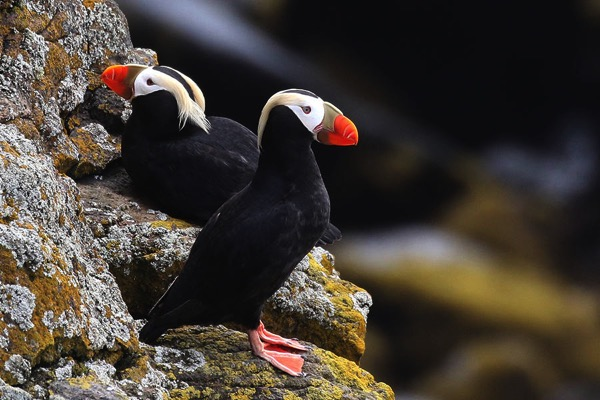 Tufted puffins st paul island 900 isaac sanchez cc by 20