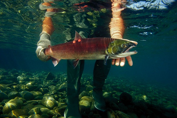 Sockeye salmon 900 mark conlin vw pics uig via getty