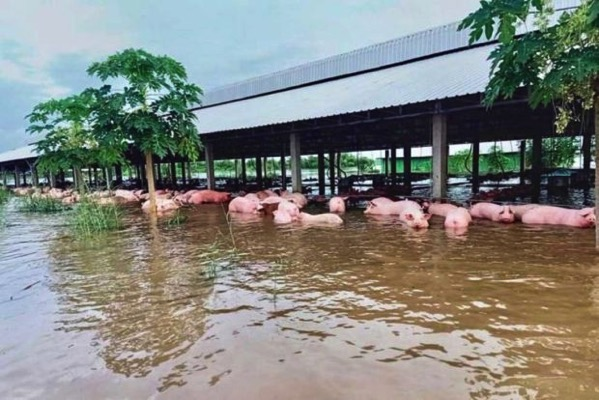 Farm owner nornn vanny lost more than 700 pigs due to flash floods in preah vihear provinces tbeng meanchey district on monday supplied 620x414