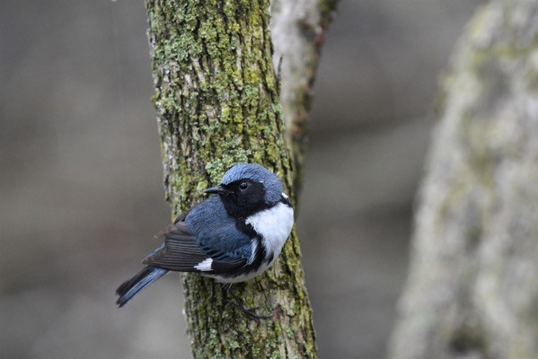 200219 black throated blue warbler se 1022a 4bfa2582d8ab09e376d47b884338e205 fit 2000w